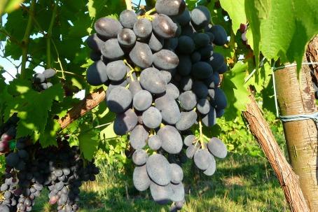 Campo dei frutti uva uva black magic - Uva da tavola precoce ...